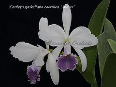 Cattleya_gaskeliana_coerulea_Andres_IMG_