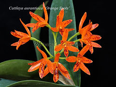 Cattleya_aurantiaca_Orange_Spots_IMG_466