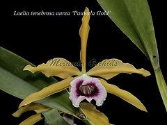 Laelia_tenebrosa_aurea_Pauwela_Gold_MG_5