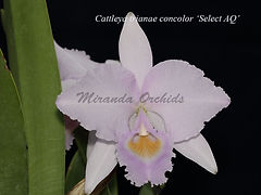 Cattleya_trianae_concolor_Select_AQ_IMG_