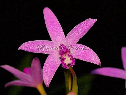 "Laelia caulescens (crispilabia) - Size 2"" (NFS to FS)"