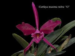 Cattleya_maxima_rubra_2_IMG_5193_800x_W.