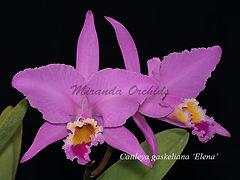 Cattleya_gaskeliana_Elena_IMG_5026_800x.