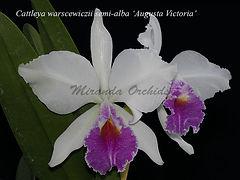 Cattleya_warscewiczii_semialba_Augusta_V