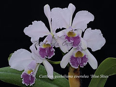 Cattleya_gaskeliana_coerulea_Blue_Skies_