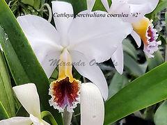 Cattleya_percivaliana_coerulea_2_IMG-202