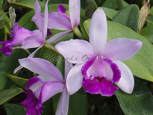 Cattleya intermedia orlata - Size FS