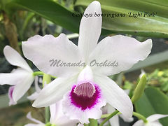 Cattleya_bowringiana_Light_Pink