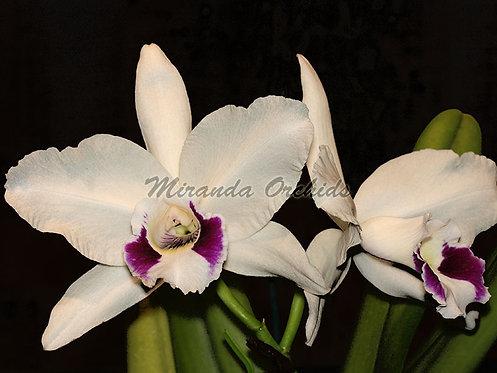 "Laelia purpurata (semi-alba 'Mem. C. Deschamps' x oculata 'F75 Teti') - Size 2"""