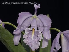 Cattleya_maxima_coerulea_5233_IMG_5233_8