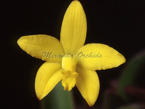 "Laelia briegeri  - Size 2"" (NFS to FS)"