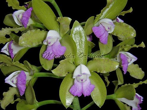 "Cattleya leopoldii albescens ('#1' x '#3') - Size 3"""