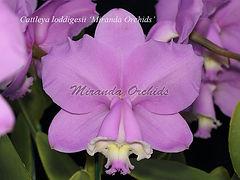 Cattleya_loddigesii_Miranda_Orchids