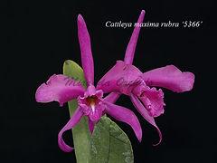 Cattleya_maxima_rubra_IMG_5366_800x_W.jp