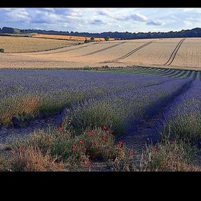 Lavender- J.Newell
