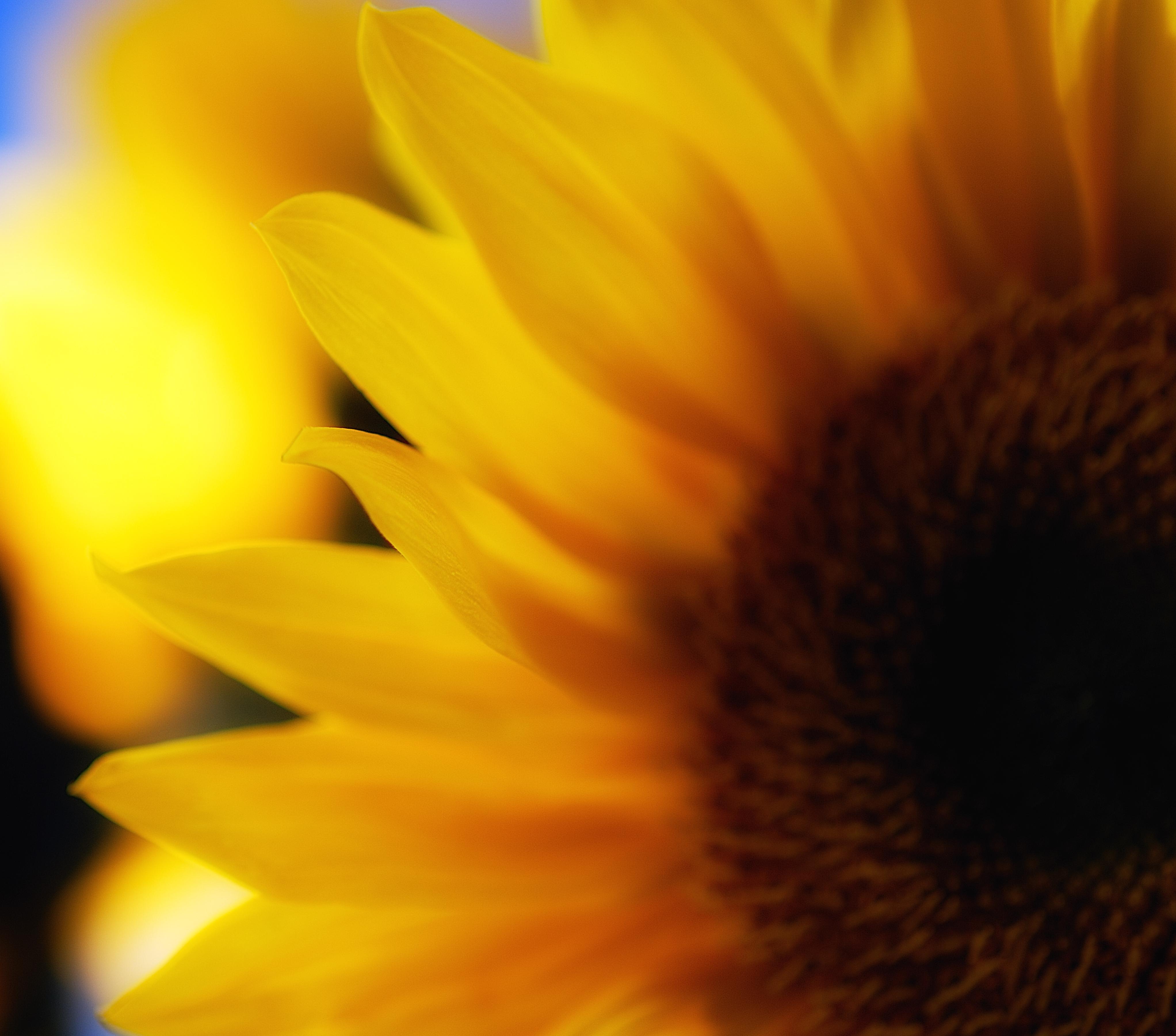 sunflowers_24