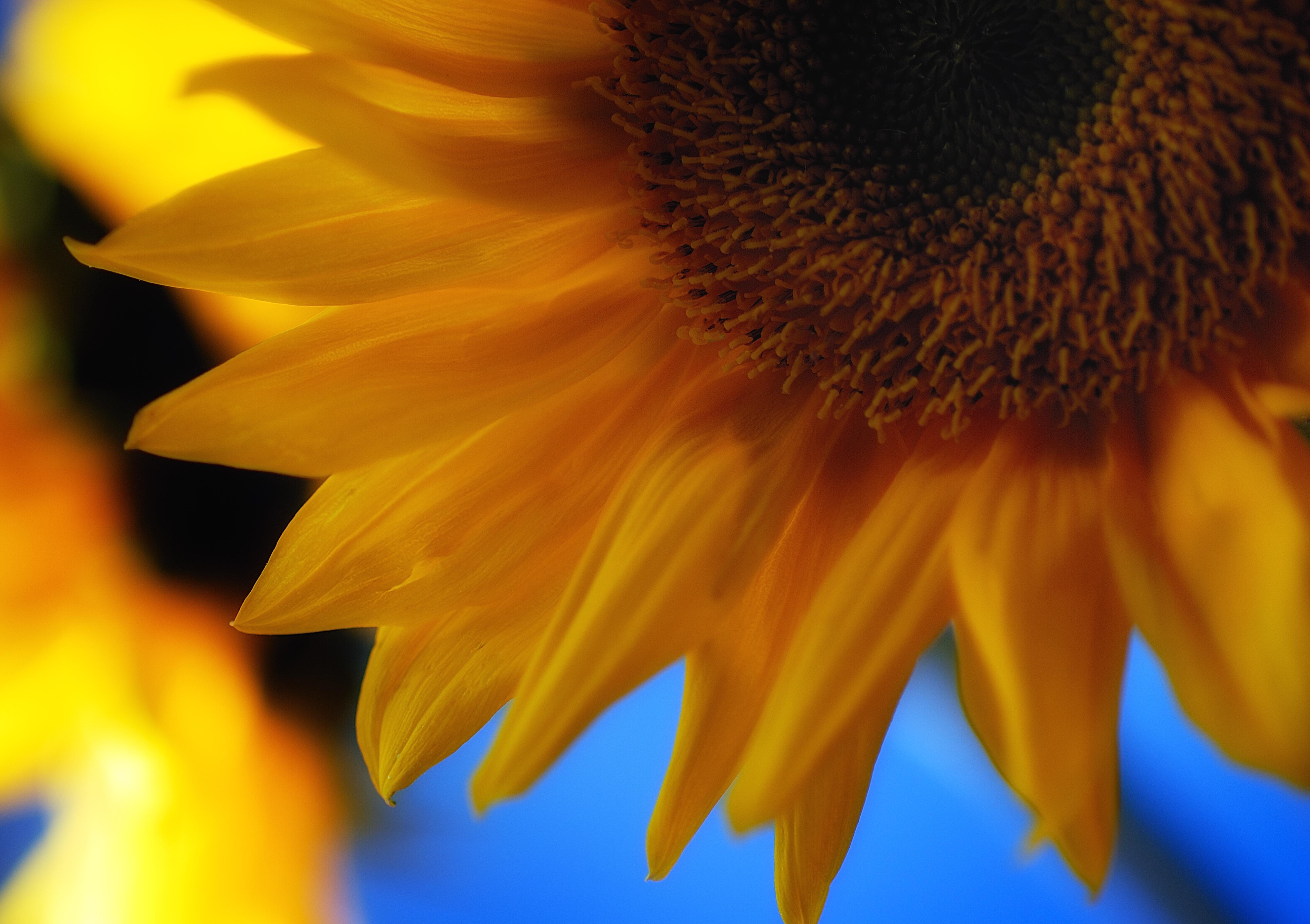 sunflowers_25