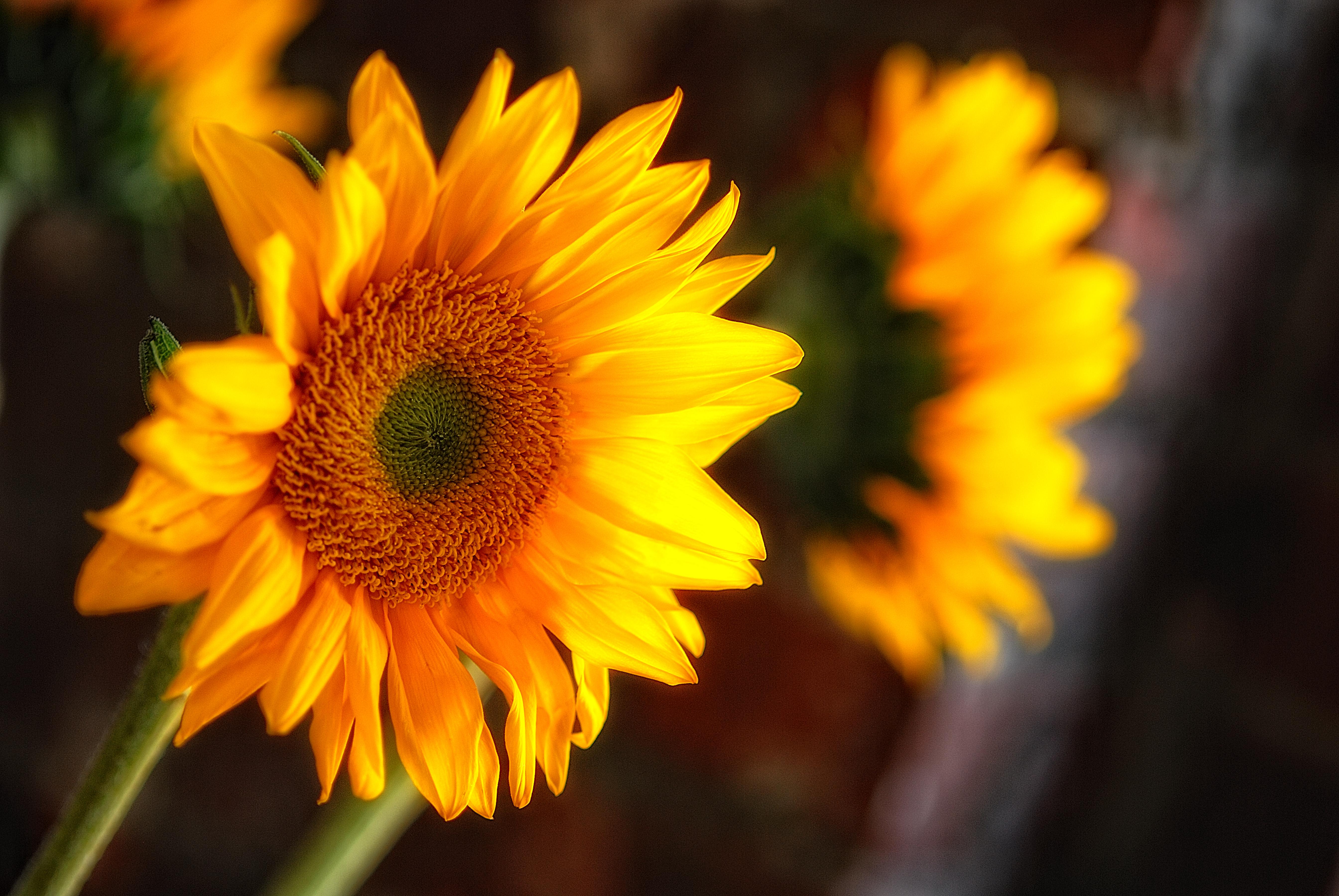 sunflowers_68
