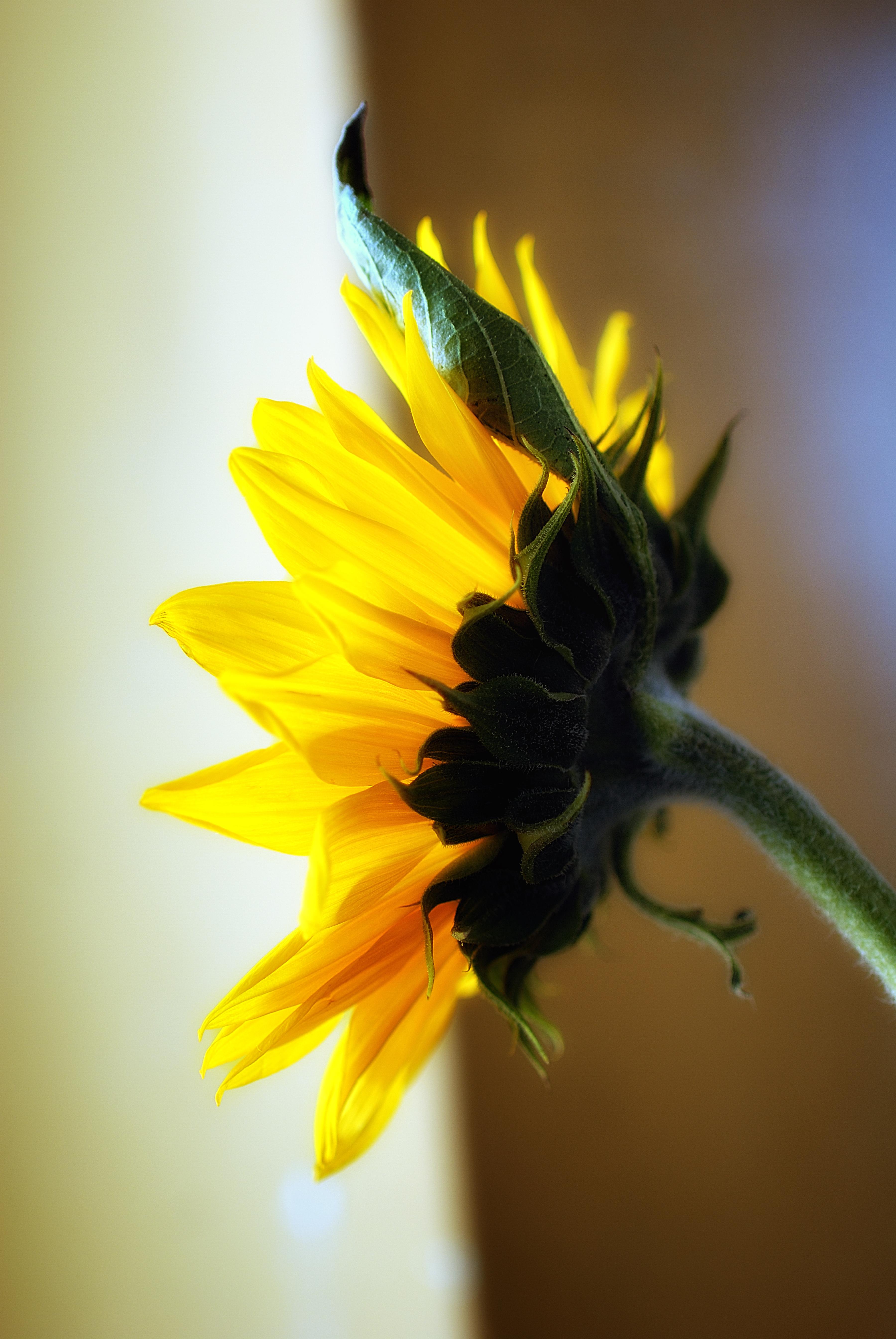 sunflowers_94