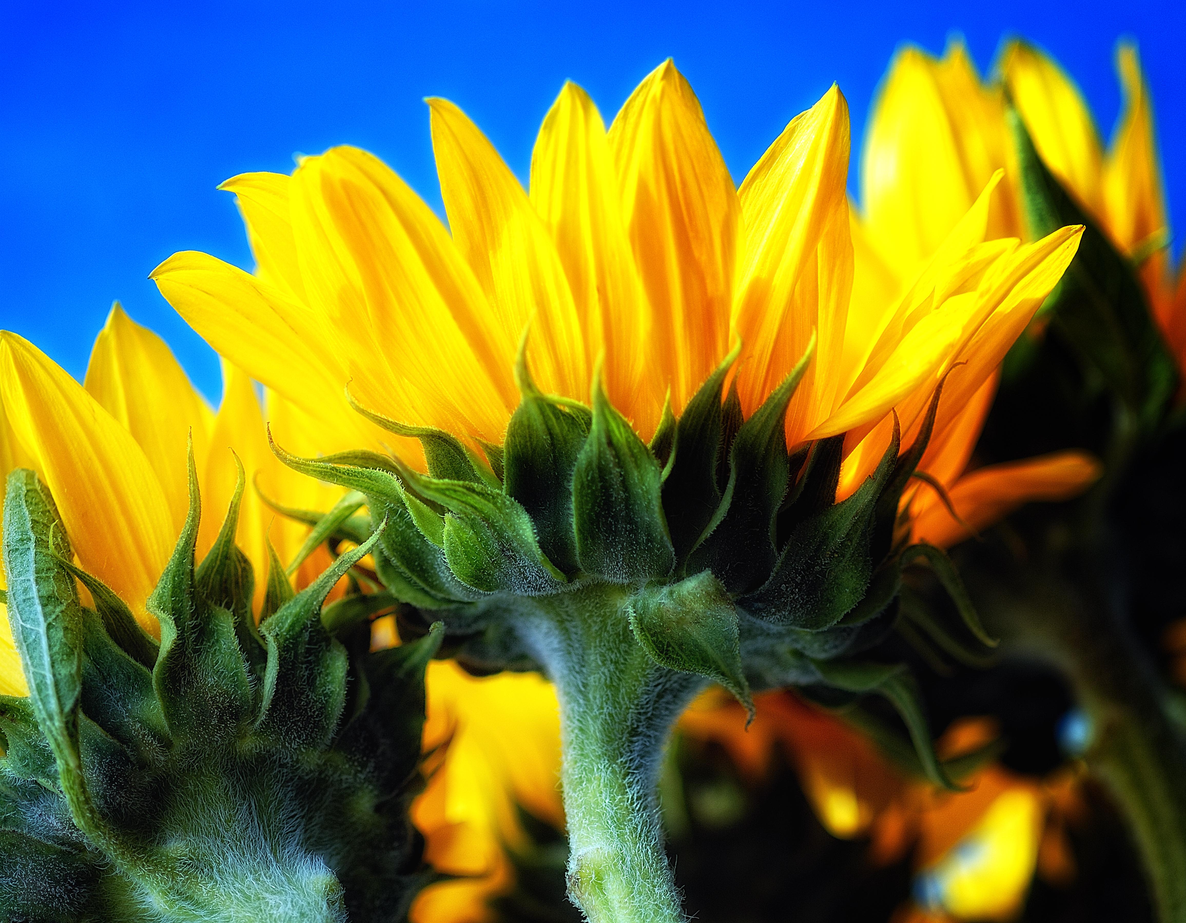 sunflowers_42