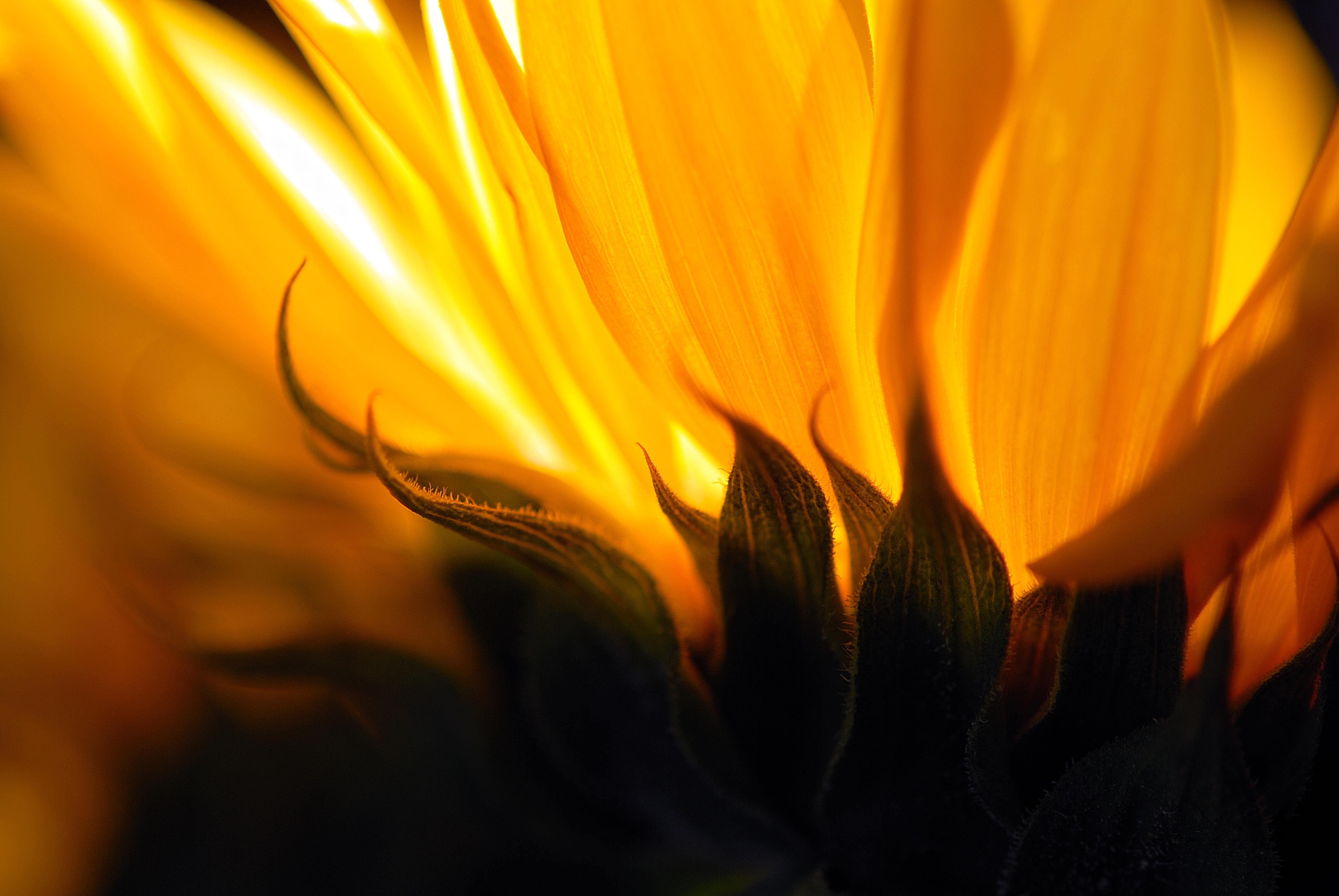 sunflowers_99