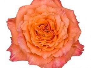 8 Favourite Florist Roses
