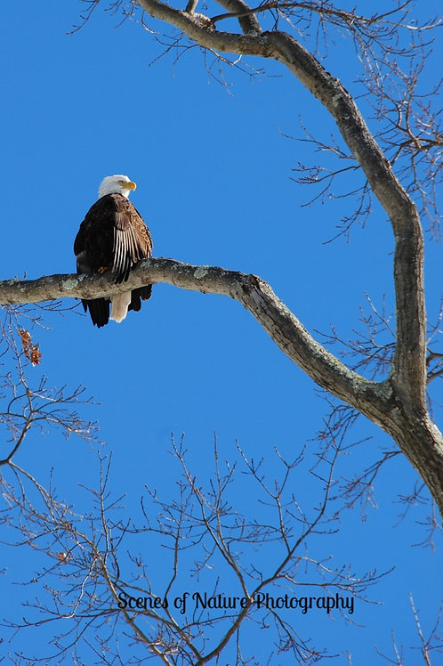 Bald Eagle - Princeton, NJ