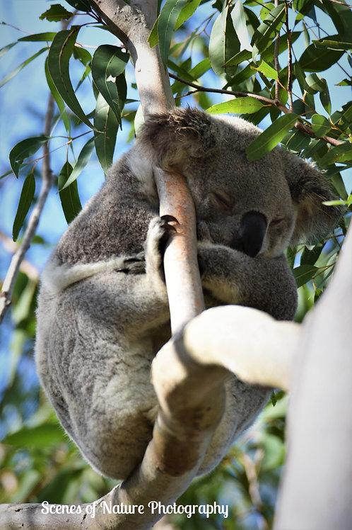 Koala - Australia