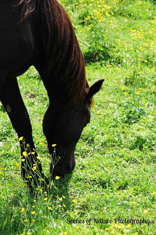 Horse Grazing - Vermont