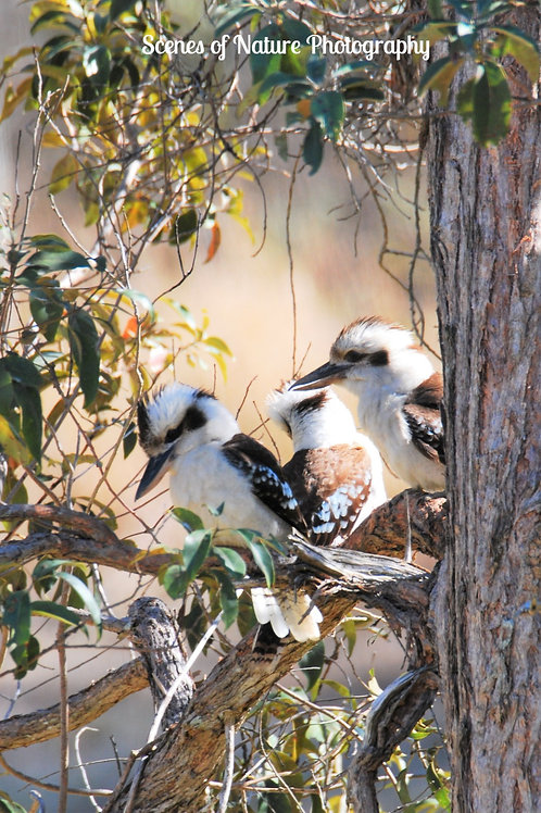 3 Kookaburras