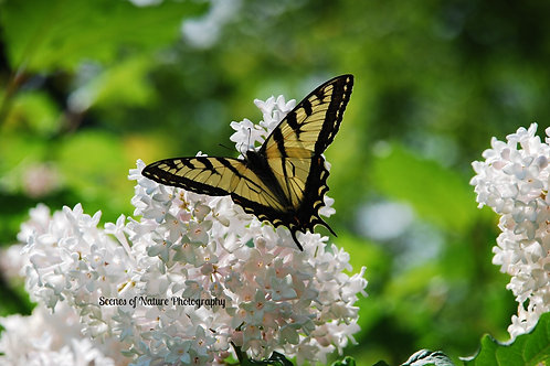 Butterfly on Lilac - Chittenden, VT