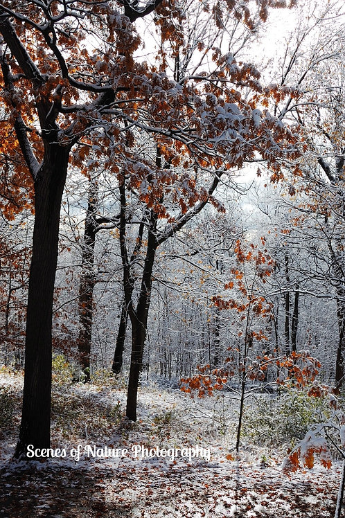 Early Snow on Autumn Leaves - Montreal