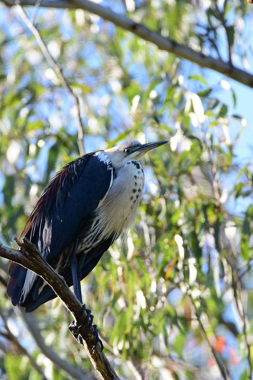 Heron - Australia