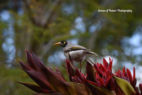 Miner Bird - Australia