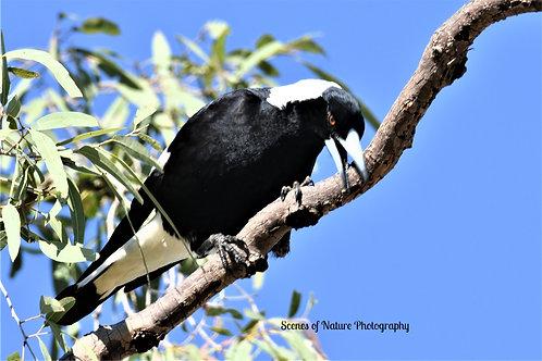 Magpie - Australia