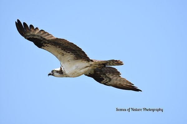 Michael - osprey DSC_0095_edited.jpg
