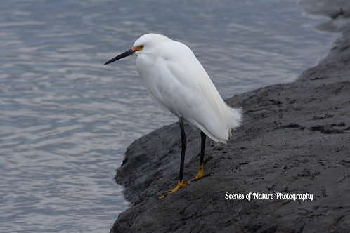 Very Snowy Egret - Edwin B. Forsythe Wildlife Refuge, NJ