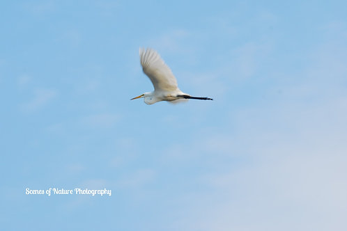 Egret in Flight - Sea Girt, NJ