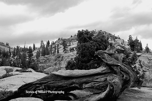 Sleeping Tree at Olmsted Point - Yosemite National Park, CA