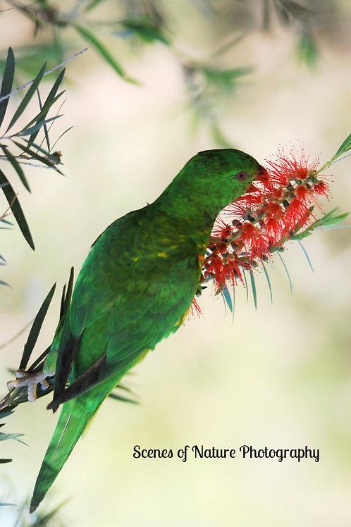Green Lorikeet - Australia