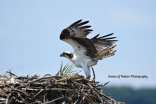 Osprey - Sandy Hook, New Jersey