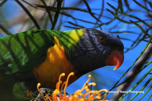 Rainbow Lorikeet - Australia