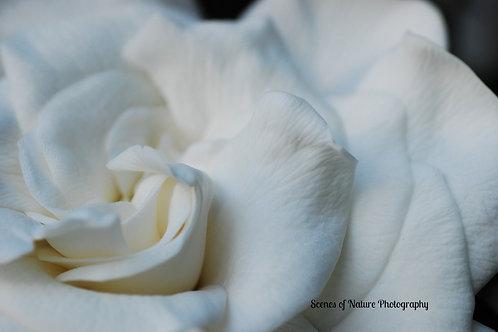 Gardenia Perfection