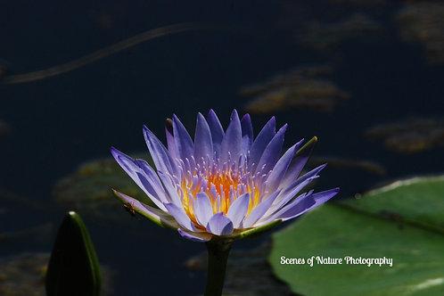 Water Lily - Australia