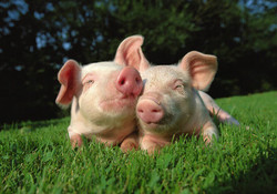 800-pigs-in-grass1 (1)