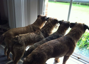 Thinking of getting a Border Terrier during lock-down?