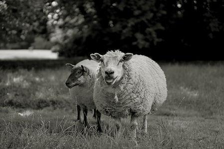 B&w sheep.jpg
