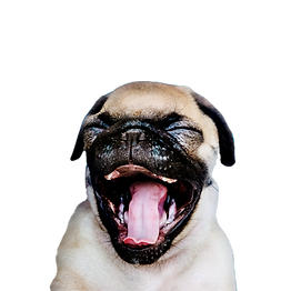 adorable-pug-puppy-solo-portrait_edited.png