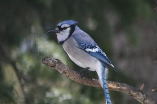 Eastern Blue Jay
