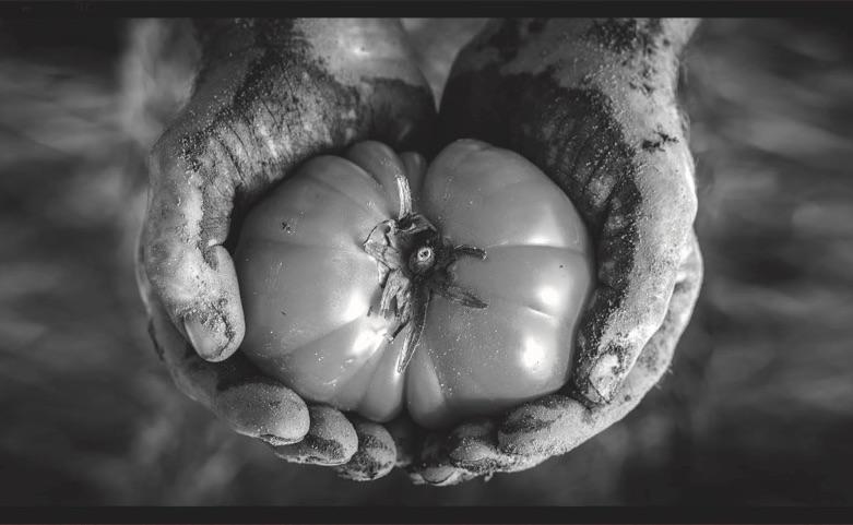 tomato Herb crop
